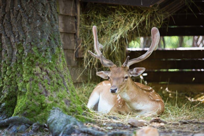 Wildlife, Deer, Fauna, White Tailed Deer royalty free stock photos