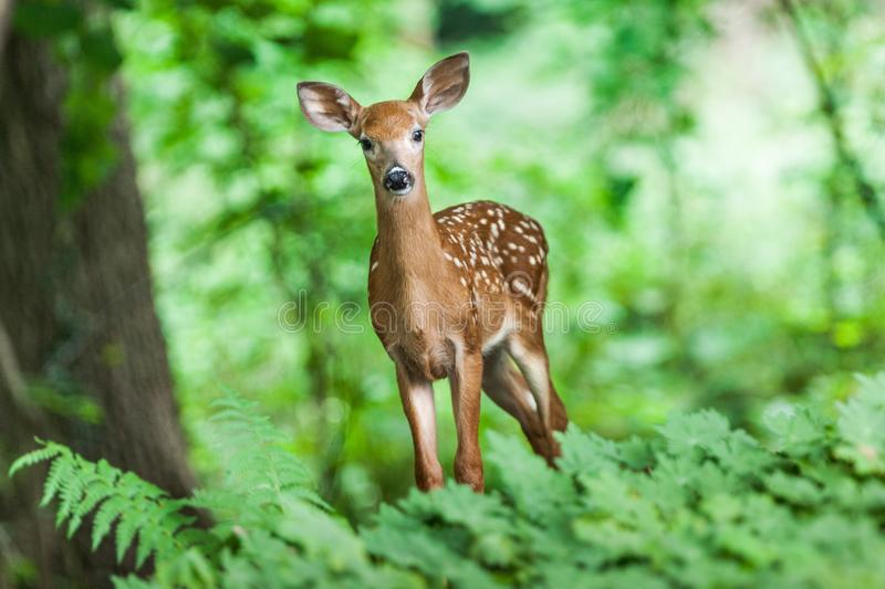 Wildlife, Deer, Mammal, Fauna royalty free stock photo