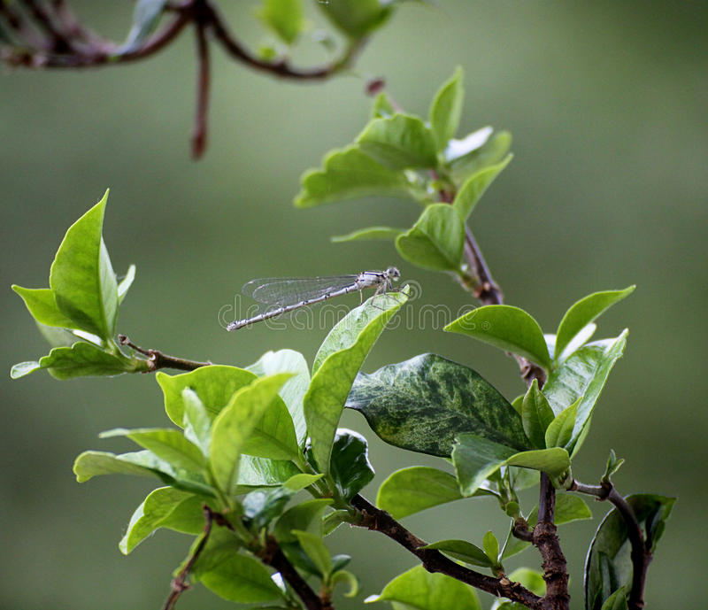 Wildlife, dragonfly on leaf. Libellula, dragonfly with aethereal wings, posed on leaf, blurred background stock photo