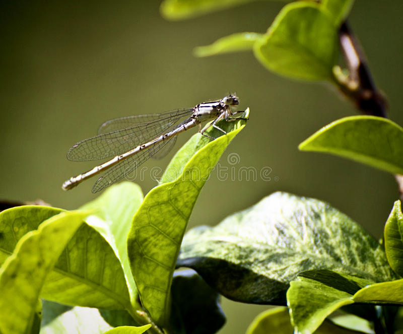 Wildlife, dragonfly on leaf. Libellula, delicate dragonfly posed on leaf with ethereal wings, blurred background stock images