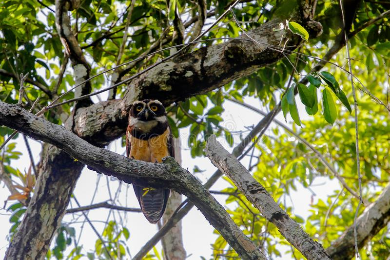 Wildlife: At Dusk, a Spectacled Owl readies for the hunt in the Northern Jungles of Guatemala. An Spectacled Owl is seen in the jungles of Petén, Guatemala royalty free stock photography