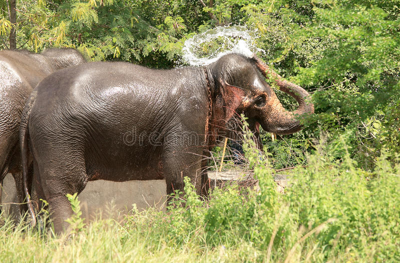 Download Wildlife Of An Elephant Spraying Water Royalty Free Stock Images - Image: 26799679