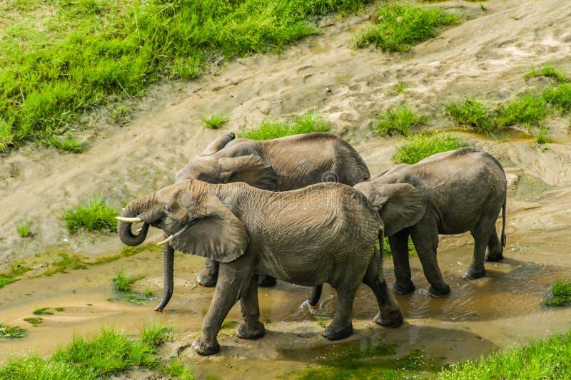 Wildlife - Elephants. African wildlife, group of elephants at Tarangire National Park, Tanzania royalty free stock image