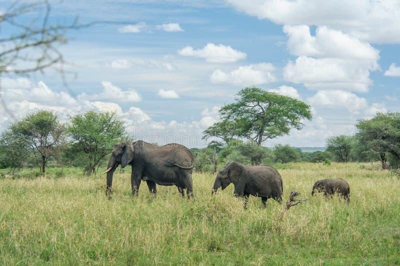 Wildlife - Elephants. African wildlife, group of elephants at Tarangire National Park, Tanzania stock photo