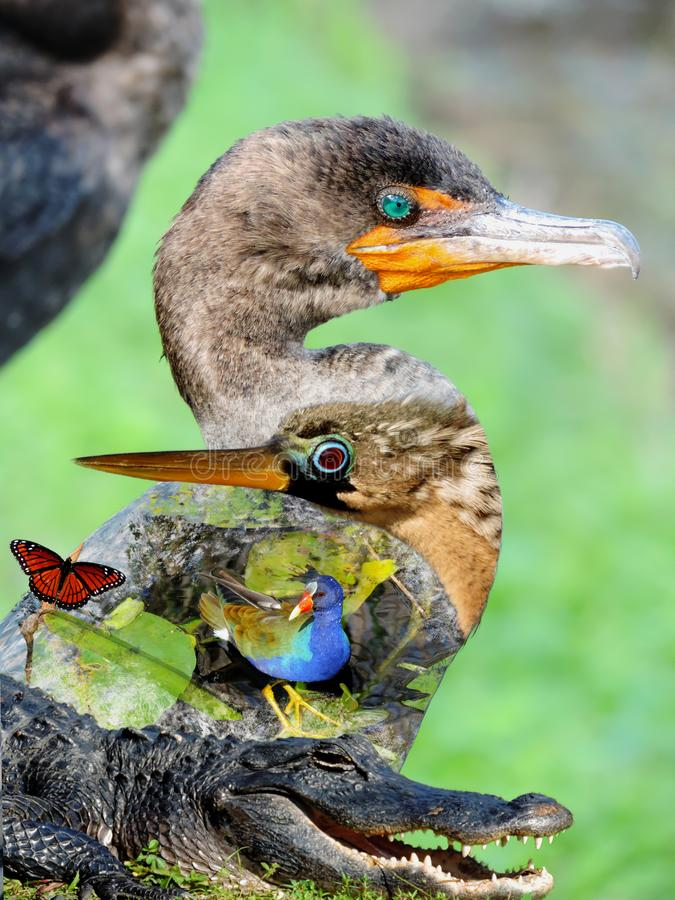 Wildlife of the Everglades National Park - Image-Montage of Birds, Alligator, Flowers and Butterfly royalty free stock images