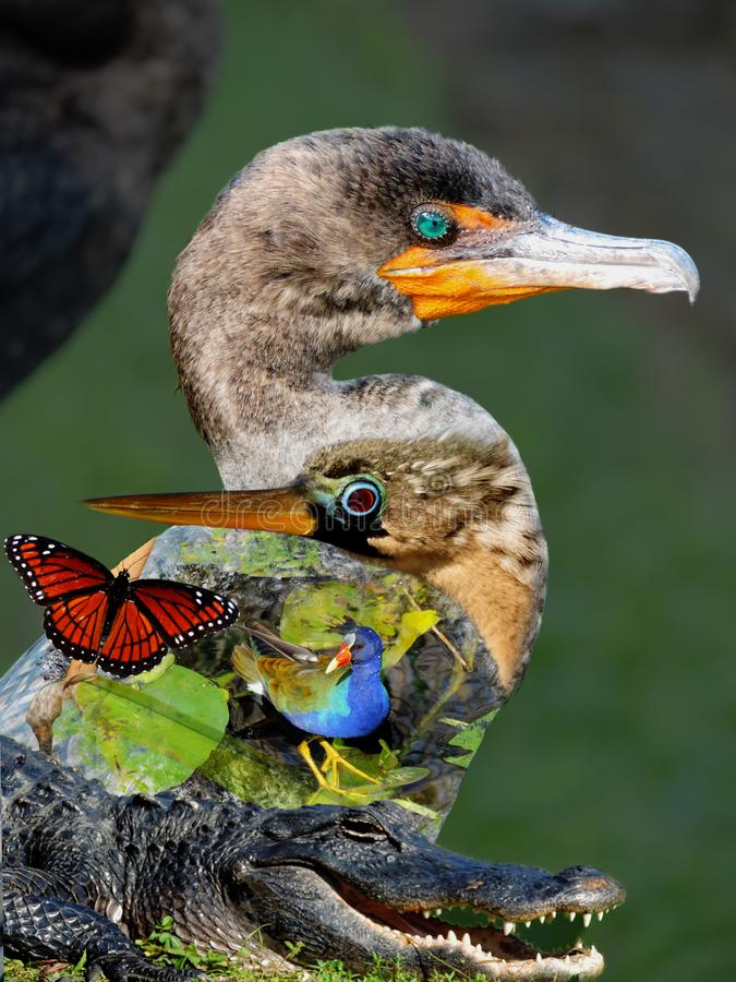 Wildlife of the Everglades National Park - Image-Montage of Birds, Alligator, Flowers and Butterfly royalty free stock photo