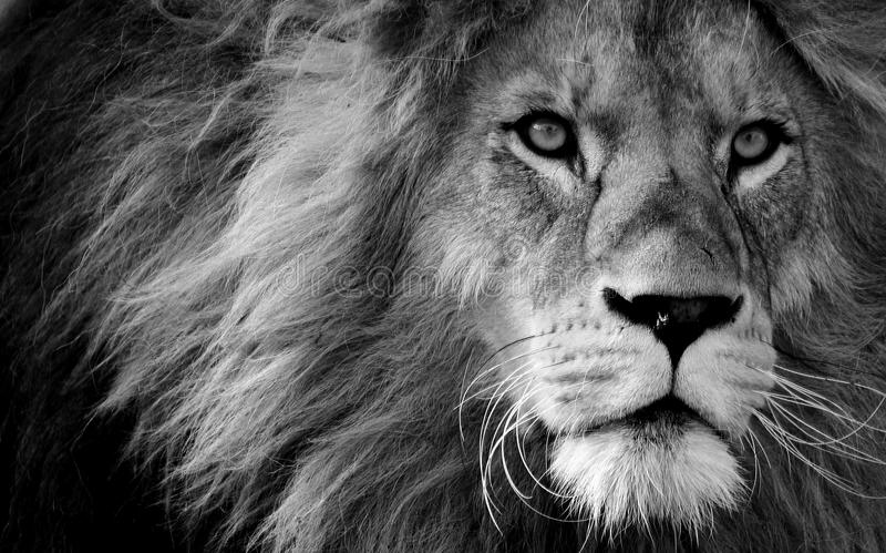 Wildlife, Face, Black And White, Black stock images
