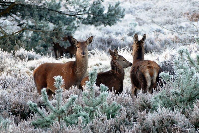 Wildlife, Fauna, Mammal, Deer royalty free stock photos
