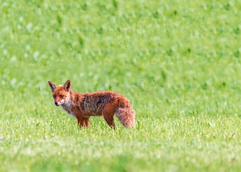 Wildlife, Fauna, Mammal, Fox stock images