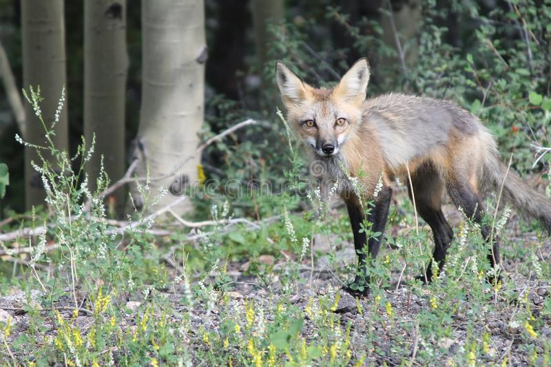 Wildlife, Fauna, Mammal, Fox royalty free stock image