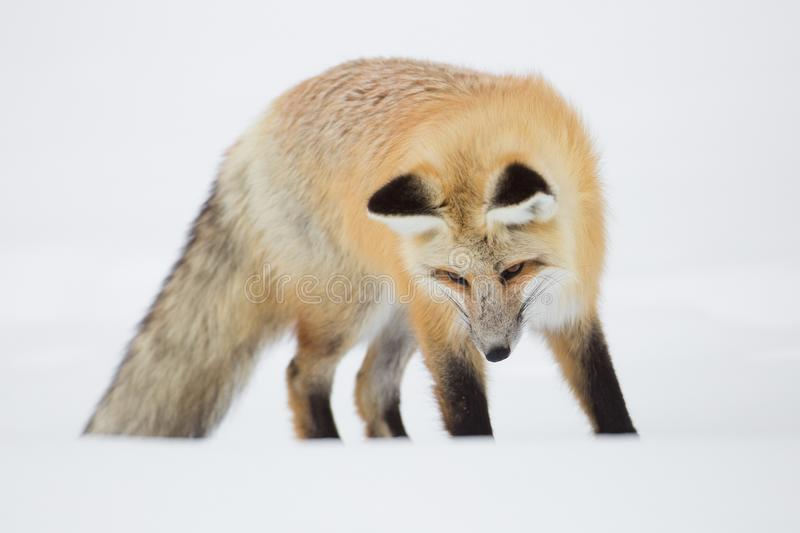 Wildlife, Fauna, Mammal, Fox royalty free stock photography
