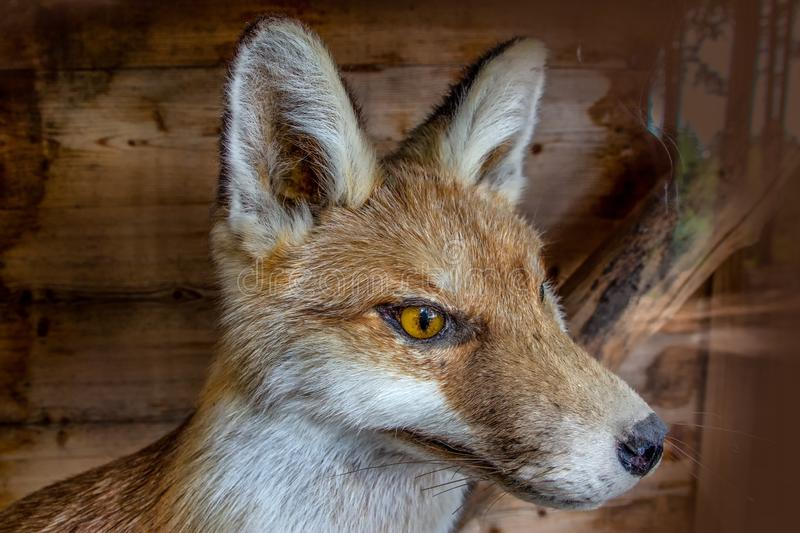 Wildlife, Fauna, Mammal, Fox royalty free stock photo