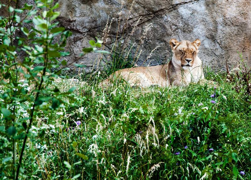 Wildlife, Fauna, Mammal, Lion stock photo