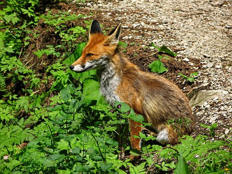 Wildlife, Fauna, Mammal, Red Fox stock photography