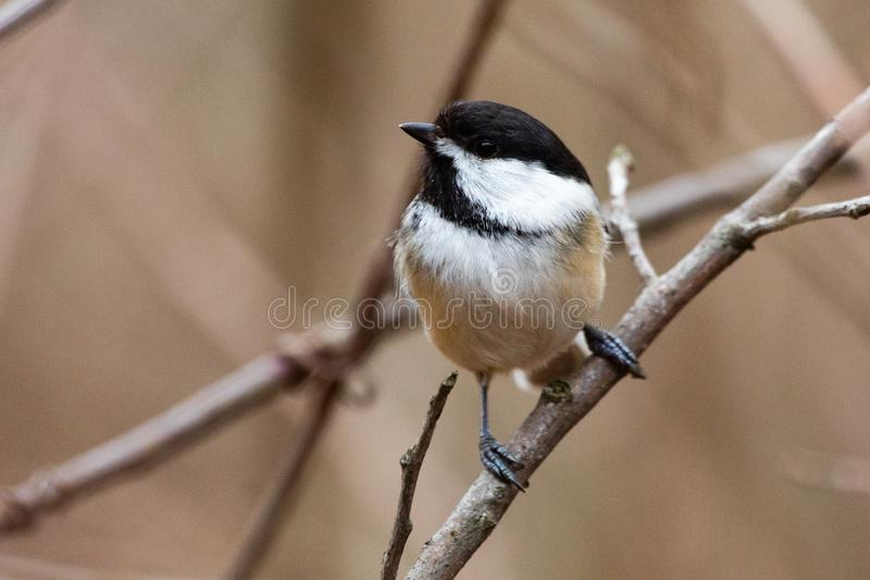 Wildlife Fauna Small Tiny Bird Birds Black Capped Chickadee. On natural branch perch royalty free stock photography