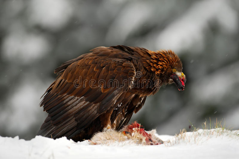 Wildlife feeding scene from the nature. Golden Eagle, bird of prey with catch kill red fox in snowy winter, snow in the forest. Habitat royalty free stock photos