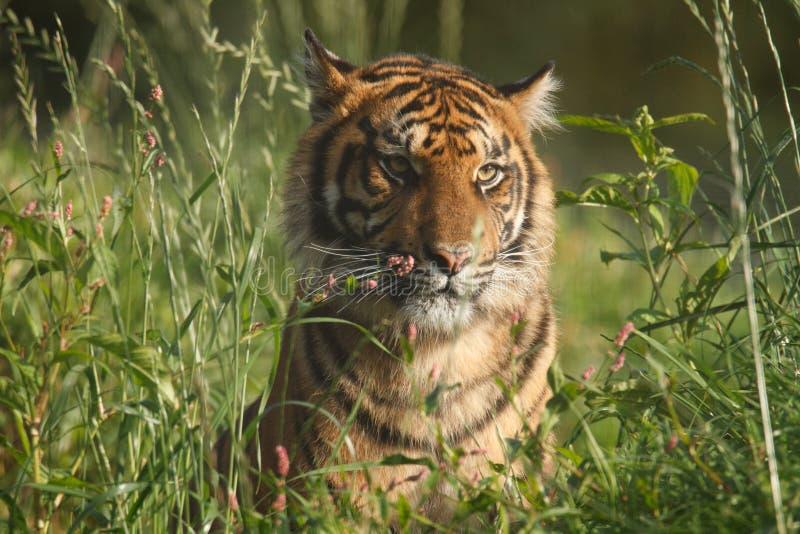 Wildlife, Female Sumatran Tiger. A Young Female Sumatran Tiger stock photos