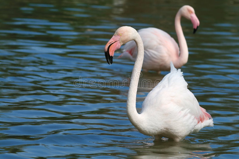 Wildlife flamingo in the water royalty free stock photos