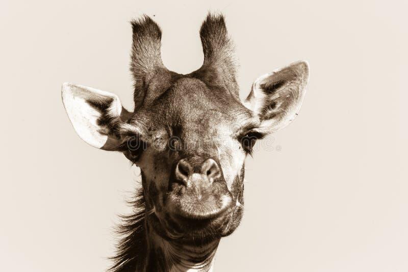 Wildlife Giraffe Animal Head Black White Vintage stock photo