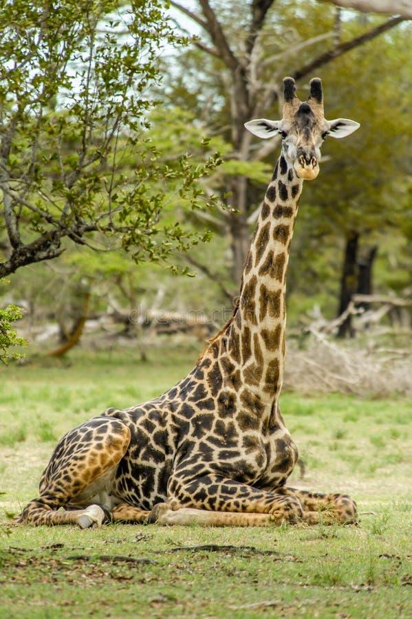 Wildlife - Giraffe stock image
