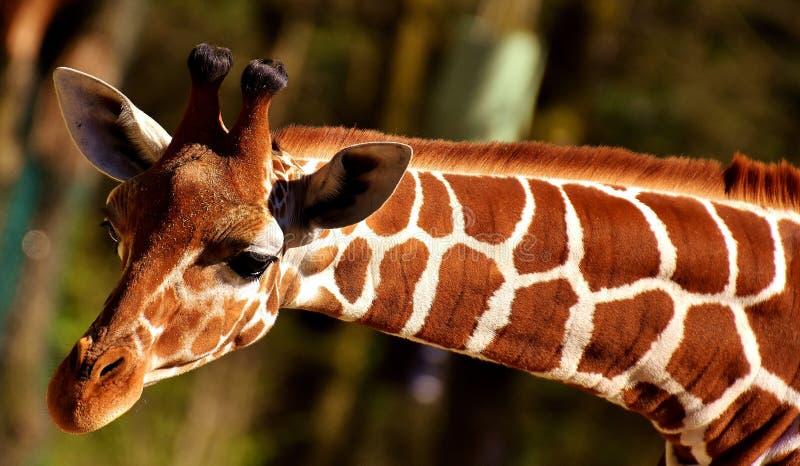 Wildlife, Giraffe, Terrestrial Animal, Fauna royalty free stock photos