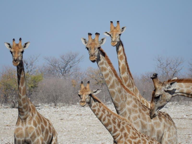 Wildlife, Giraffe, Terrestrial Animal, Fauna royalty free stock images