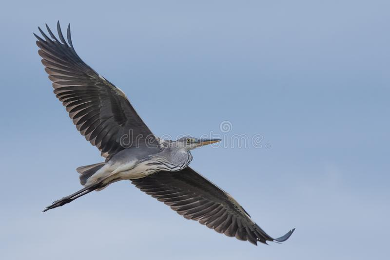 WILDLIFE: A HERON AS FREE AS A BIRD royalty free stock images