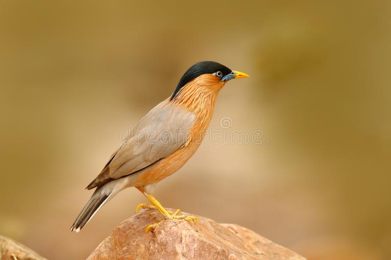 Wildlife India. Brahminy myna or brahminy starling, Sturnia pagodarum, bird from India. Myna sitting on the stone, clear backgroun stock images
