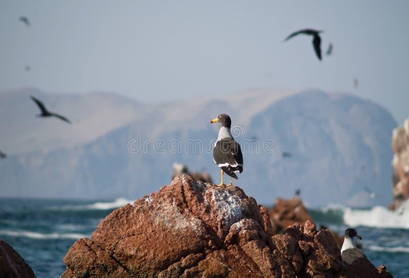 Wildlife on Islas Ballestas in Peru royalty free stock photos