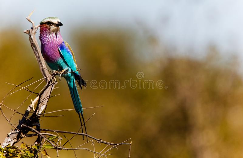 Lilac-breasted Roller, Coracias Caudataus in South Africa royalty free stock photography