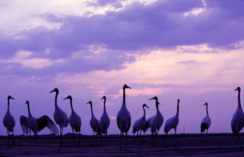 Wildlife landscapes. A shot of wildlife landscapes.(red -crowned crane