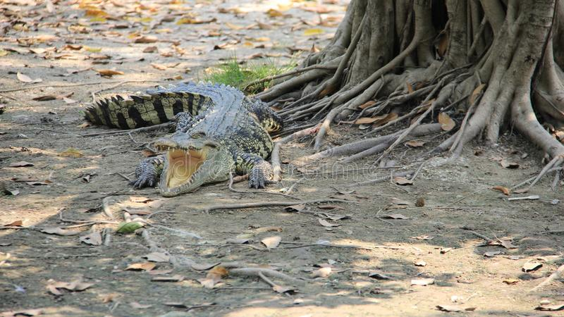 Crocodile Relaxation And Sunbathe. Living With Freedom. Wildlife life crocodile relax and sunbathing freedom of living. simple of life.Thailand stock image