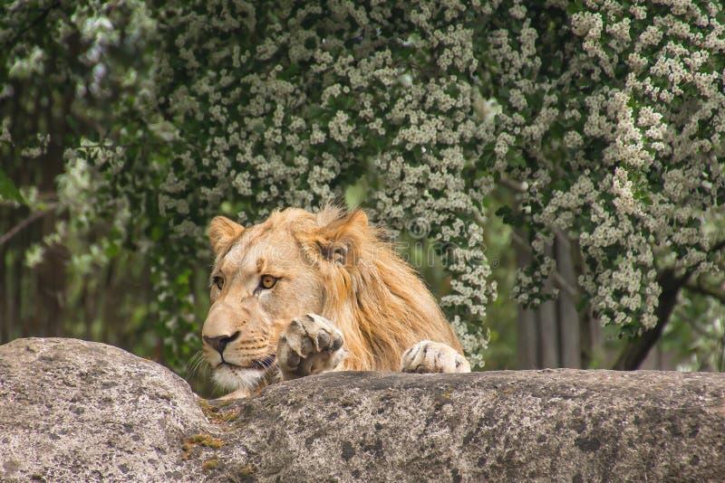 Wildlife, Lion, Fauna, Zoo royalty free stock photos