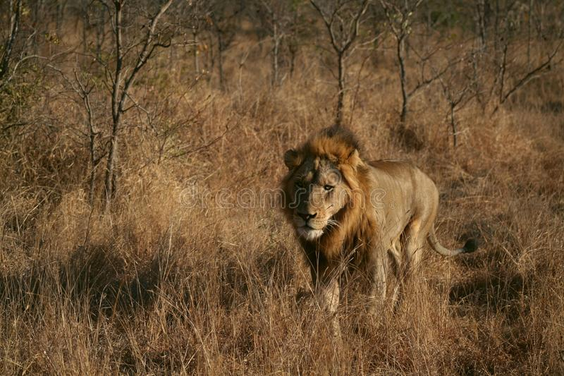 Wildlife, Lion, Grassland, Wilderness Free Public Domain Cc0 Image