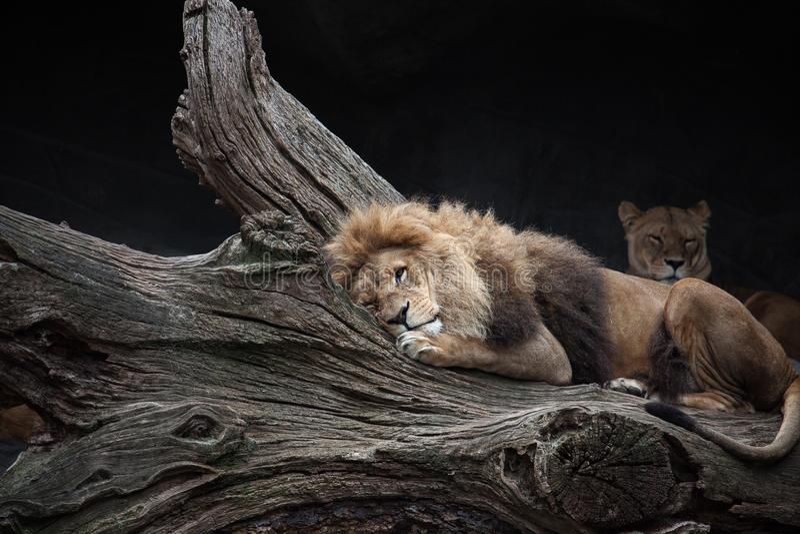 Wildlife, Lion, Mammal, Terrestrial Animal Free Public Domain Cc0 Image