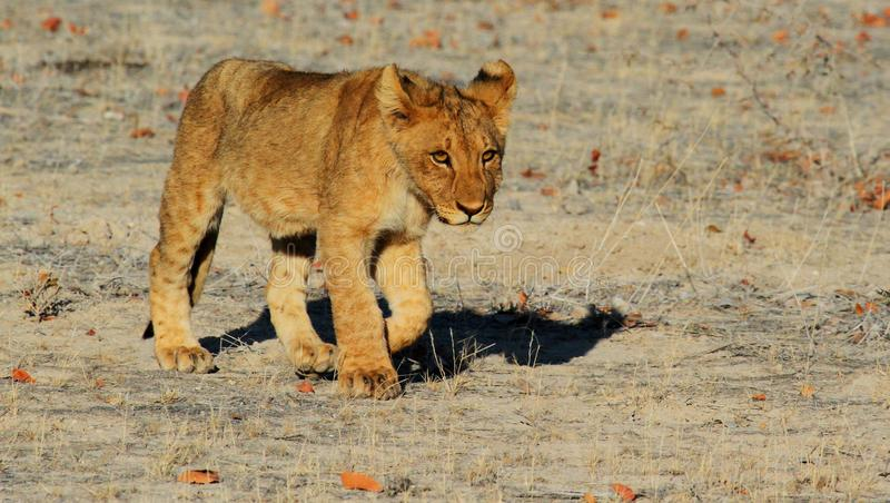 Wildlife, Lion, Mammal, Terrestrial Animal stock photography