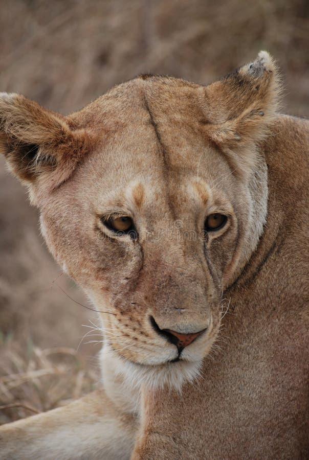 Wildlife, Lion, Terrestrial Animal, Fauna stock photo