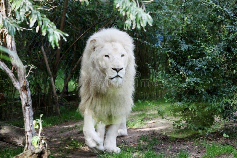 Wildlife, Lion, Terrestrial Animal, Grass royalty free stock photos