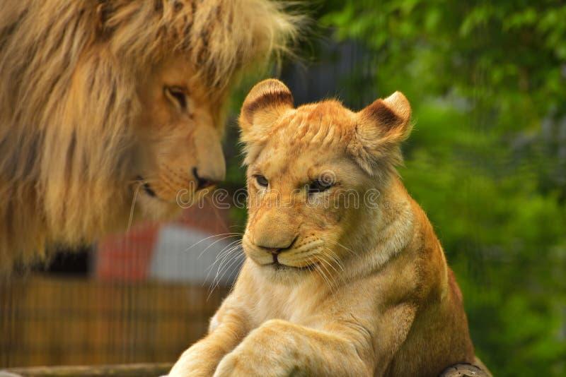 Wildlife, Lion, Terrestrial Animal, Mammal stock photo