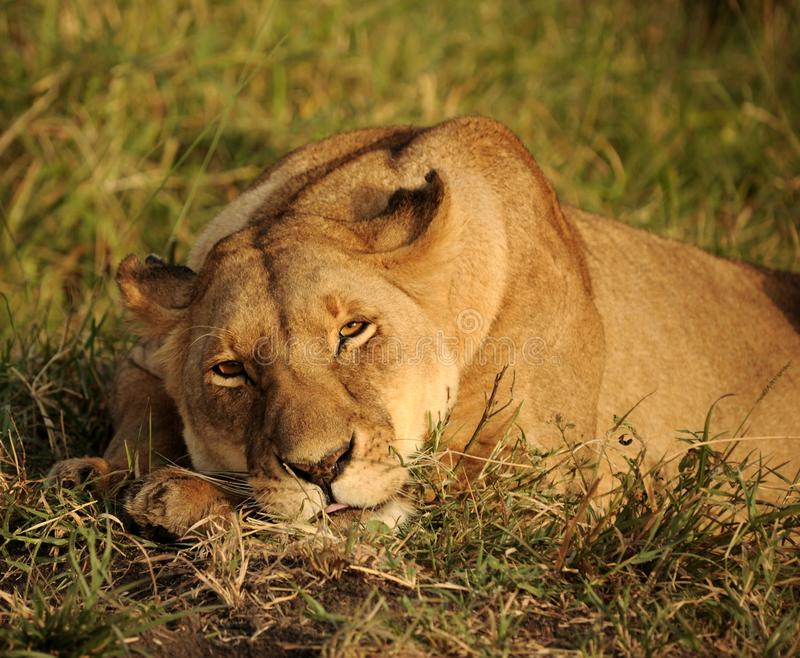 Wildlife, Lion, Terrestrial Animal, Wilderness stock photography