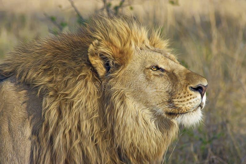 Wildlife, Lion, Terrestrial Animal, Wilderness stock images