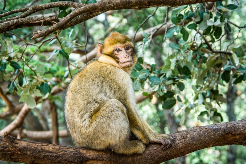 Wildlife macaques monkeys in Moroccan cedar forest near Azrou, Morocco.  stock photography