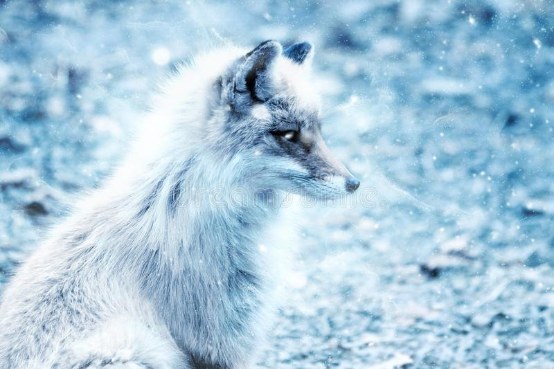 Wildlife, Mammal, Fox, Fauna stock photos