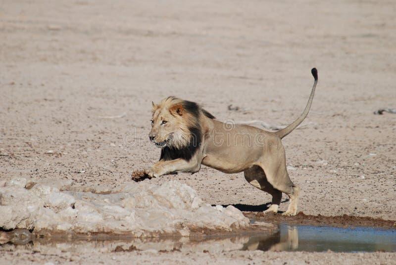Wildlife, Mammal, Lion, Terrestrial Animal stock photo