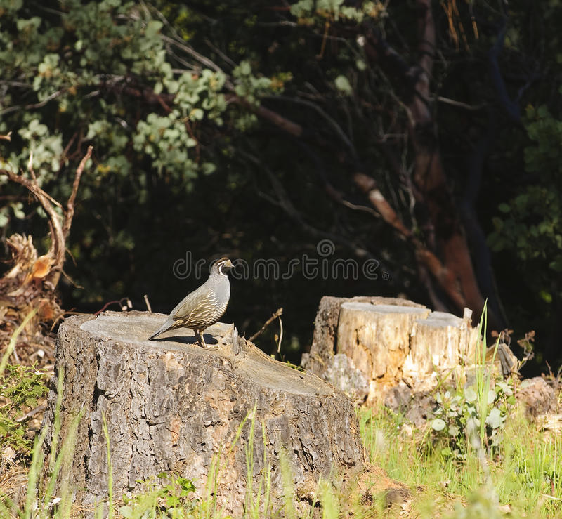 Wildlife in Northern California. Male Californian valley quail standing on a cut off tree trunk royalty free stock photo