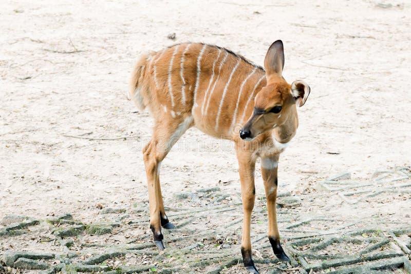 Wildlife Nyala antelope Nyala angasi royalty free stock photography