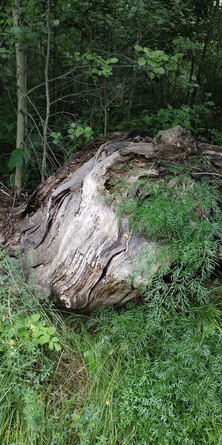 wildlife Oude die boom met gras wordt overwoekerd stock afbeeldingen