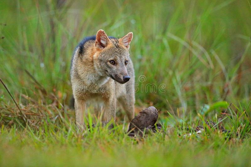 Wildlife, Pantanal, Brazil. Green vegetation, cute wild fox. Dog with carcass. Crab-eating fox, Cerdocyon thous, forest fox, wood. Fox or Maikong. Wild dog in royalty free stock photography