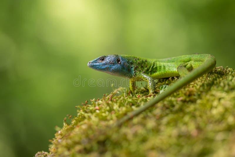 The European Green lizard Lacerta viridis in Czech Republic. Wildlife photo of The European Green lizard Lacerta viridis royalty free stock images