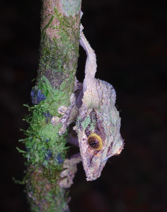 Mossy Leaf-tailed gecko in best camouflage Uroplatus sikorae in Mantadia Rainforest Madagascar royalty free stock photos